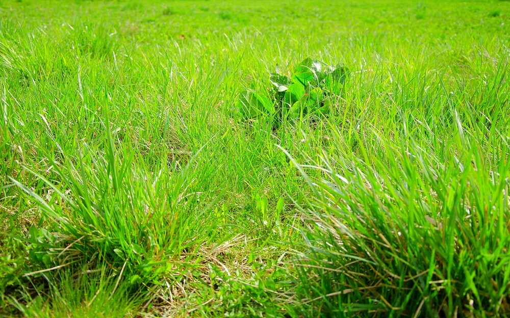 Common turf grass in the spring. Natural unkept lawn with a little weed.